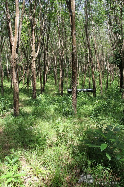 Thai Rubber Tree Plantation